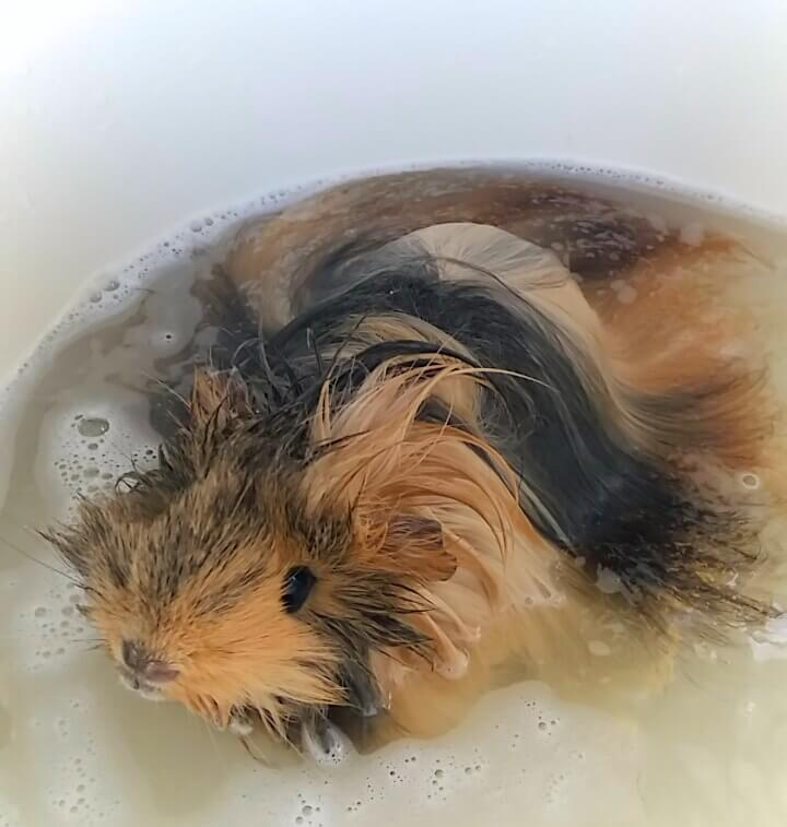 Foto van Punky de Cavia in bad